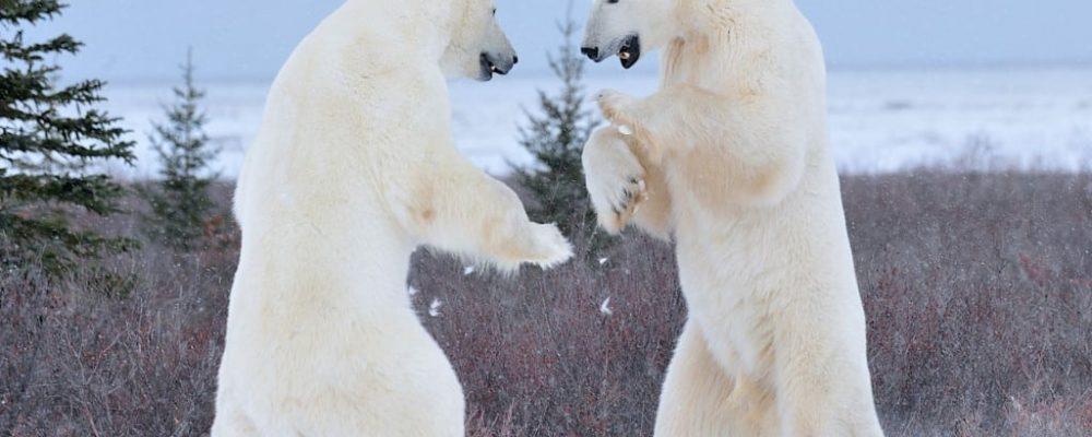 Bears Sparring - Courtesy of Churchill Wild - Photo by Ian Johnson