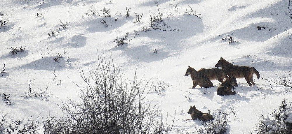 Beren & wolven, Abruzzen National Park, Italië