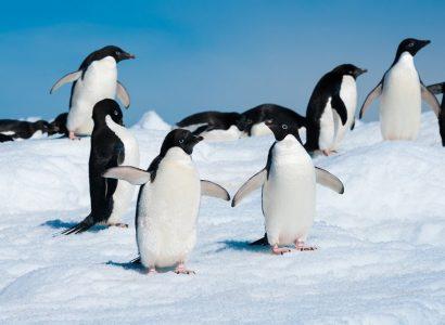 Adélie pinguïn, Antarctica