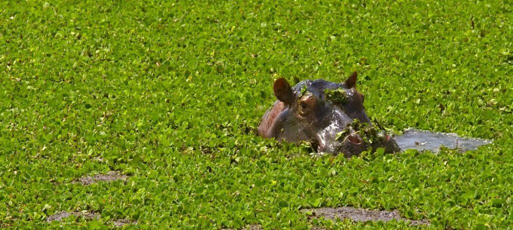Nijlpaard, Rwanda