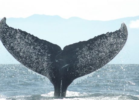 Experience the thrill of whale watching off the coast of Puerto Vallarta!