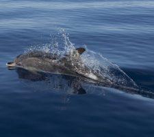 Atlantische Vlekdolfijn