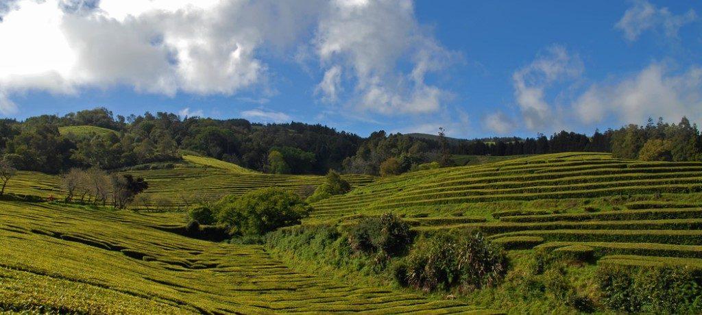 Theeplantage Gorreana, Sao Miguel