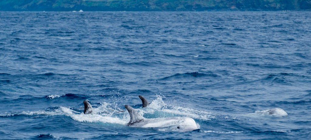 Risso dolfijnen