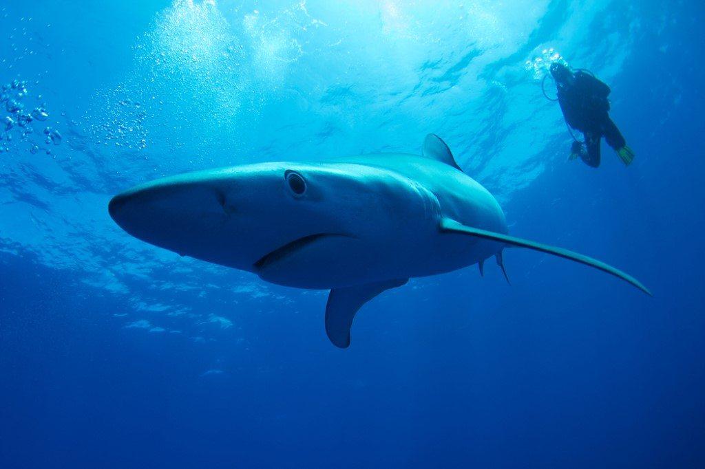 Duiken met blauwe haaien