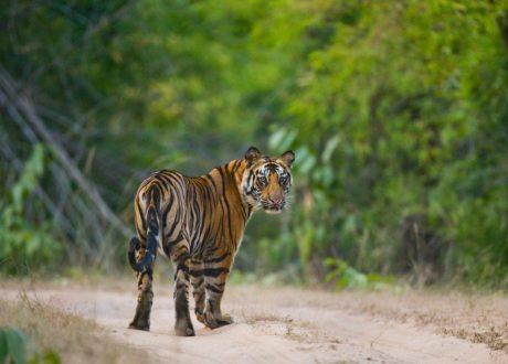Kanha tijgersafari