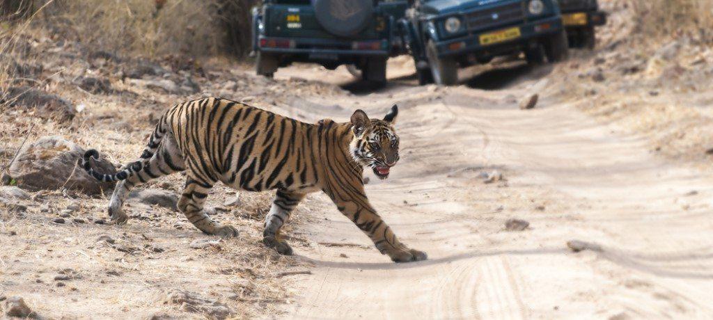 Bandhavgarh tijger