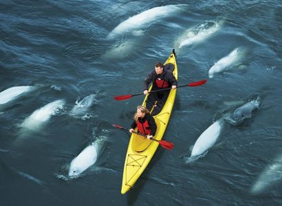 Beluga walvissen