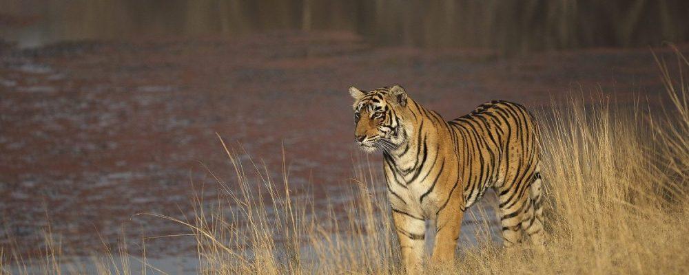 Bengaalse tijger. Foto: © Rohit Varma
