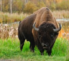 Bison Canada