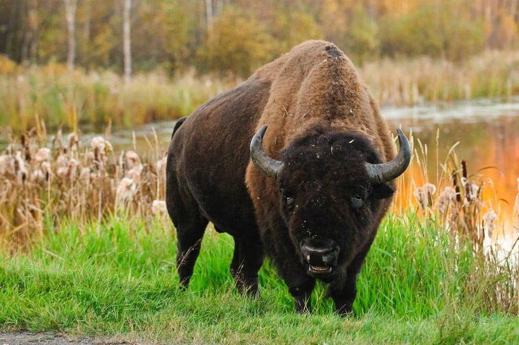 Bison Canada