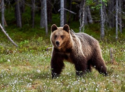 Bruine beren Italië