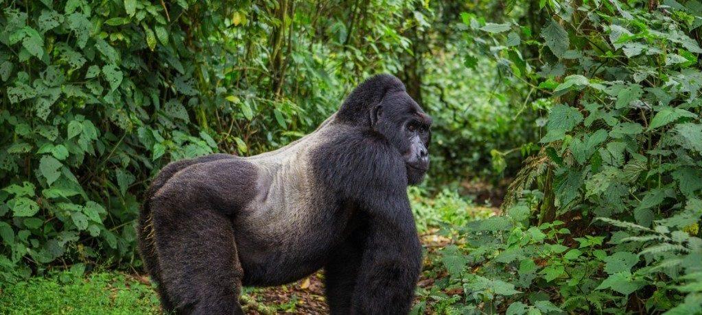 Berg gorilla
