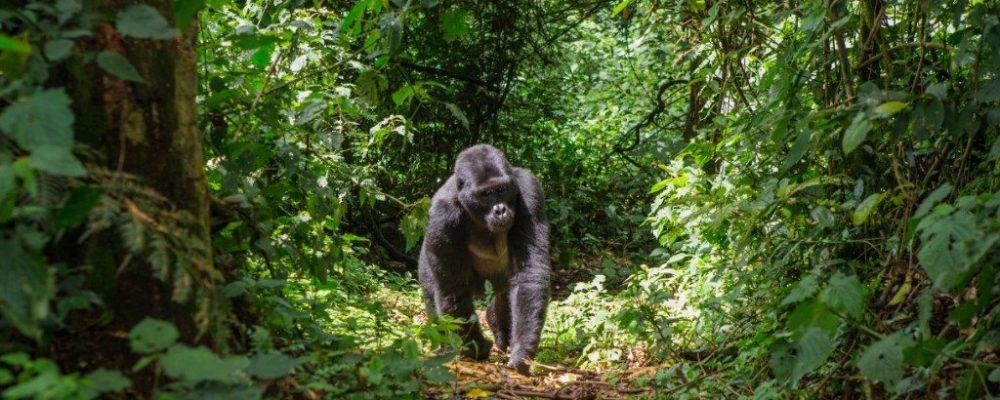berggorilla bwindi