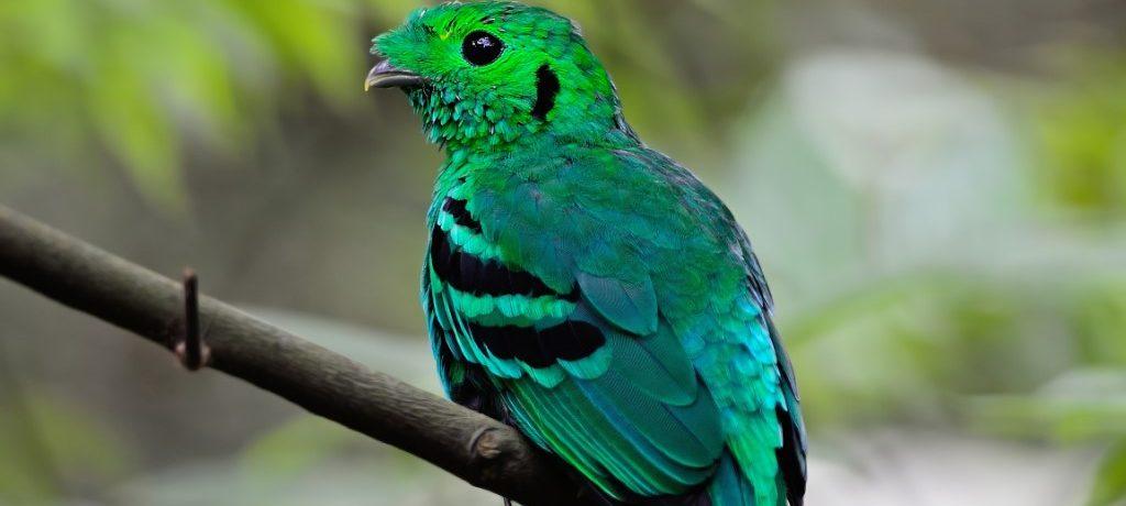 Kleine smaragdbreedbek