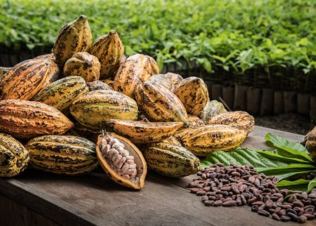 Cacao plantage