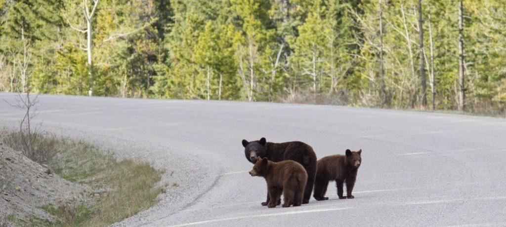 Zwarte beren, Icefields Parkway, Canada