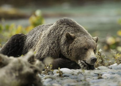 Grizzly beer, Great Bear Rainforest