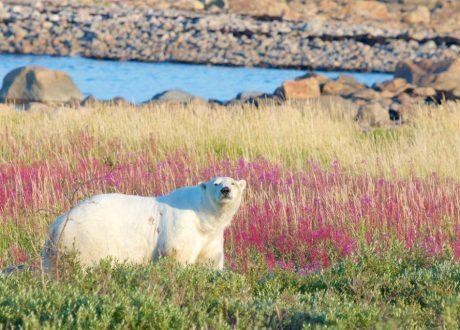 IJsbeer, Hudson Bay