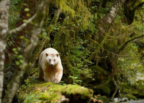 Geestbeer, Great Bear Rainforest