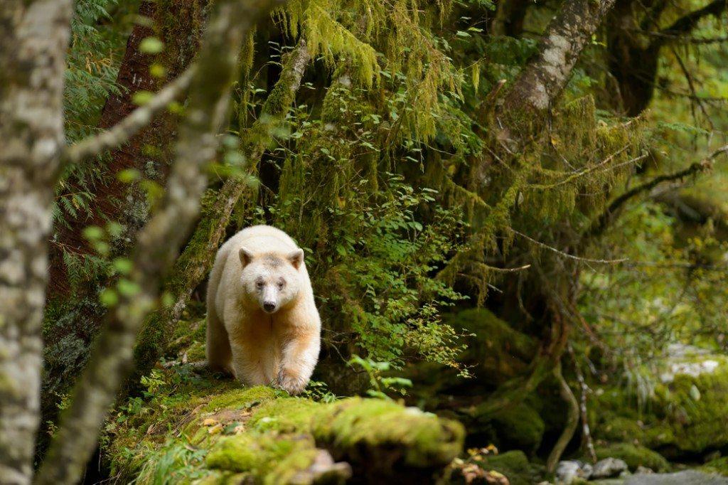 Geestbeer, Great Bear Rainforest