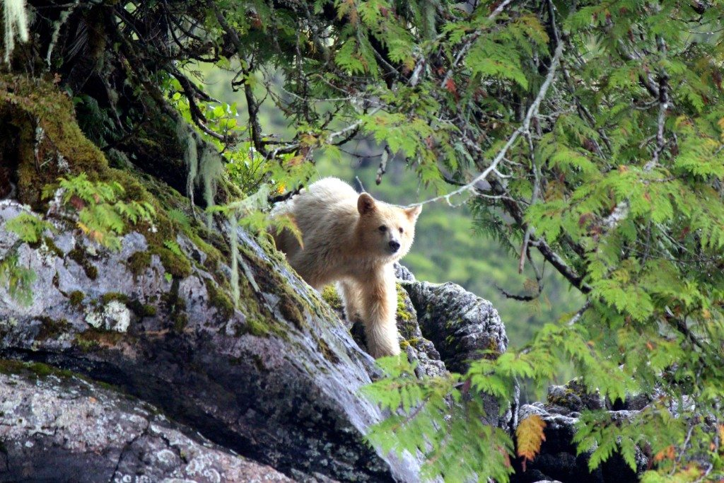 Foto: © Spirit Bear Lodge