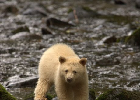 Foto: © Spirit Bear Lodge