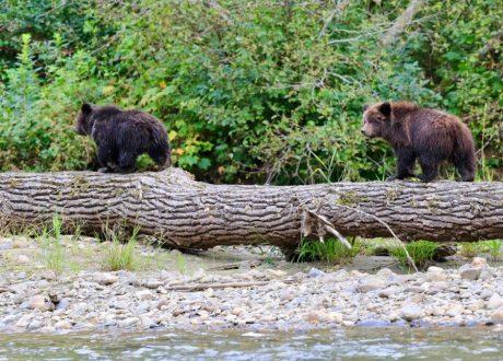 Grizzly beren, Tweedsmuir, Canada
