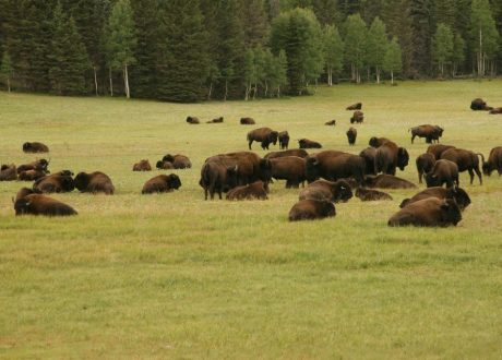 Bison Paddock, Waterton Lakes, Canada