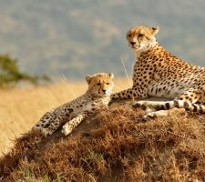 Kidepo Valley cheeta oeganda