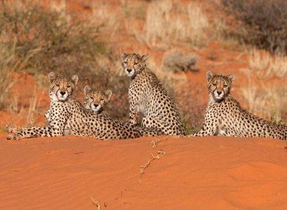 Cheetah Namibië