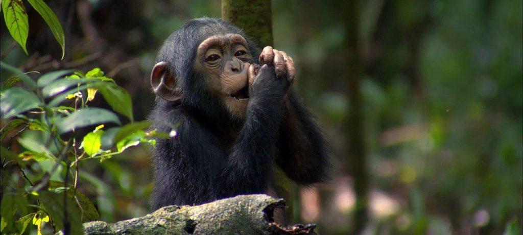 Chimpansee Habituation Experience