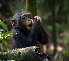 Chimpansee Habituation Experience