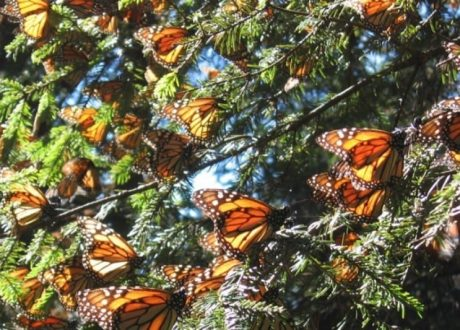 Chincua Butterfly Sanctuary - Astrid Frisc