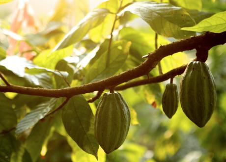 Claudio Corallo Cacao plantage