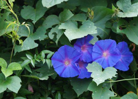 Lobelia bloem