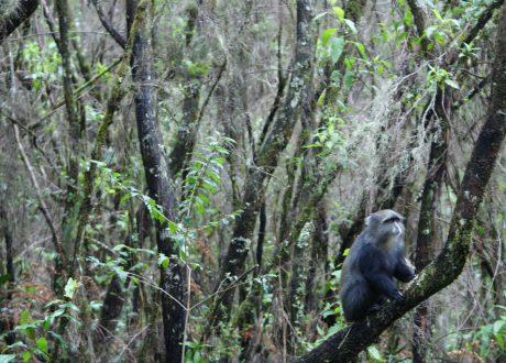 Kilimanjaro colobus aap