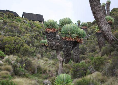 Reuzenkruiskruid plant