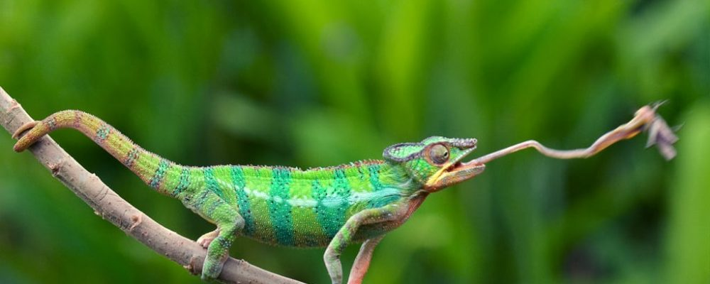 Panhter chameleon - Fotograaf Edwin Giesbers