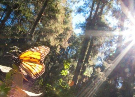 El Rosario Butterfly Sanctuary - Astid Frisc
