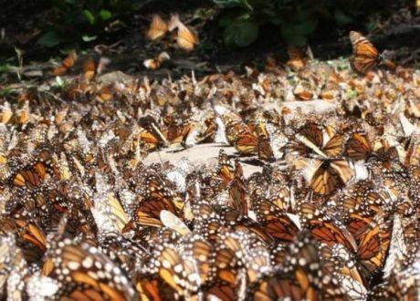El Rosario Butterfly Sanctuary - Astrid Frisc