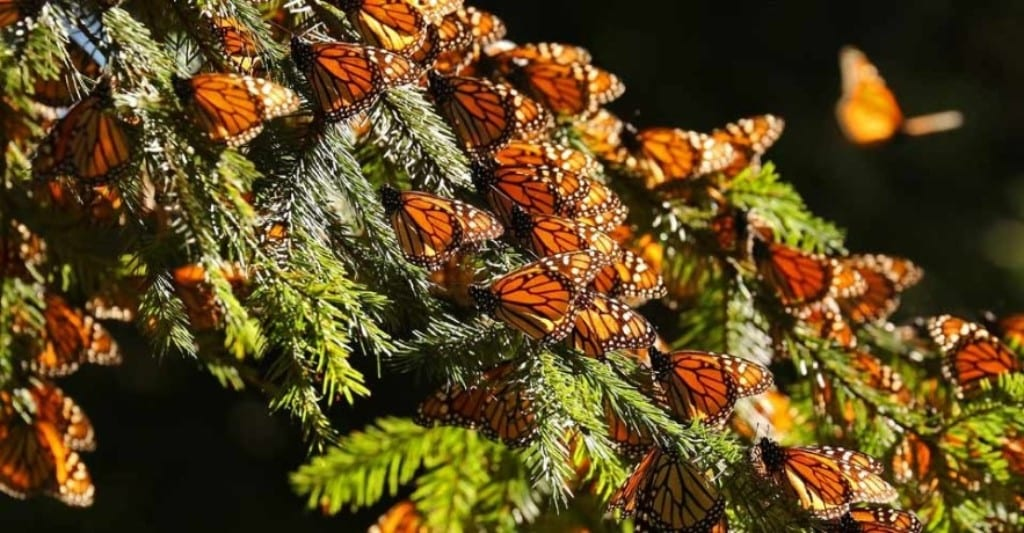 El Rosario Butterfly Sanctuary - Melissa Scott