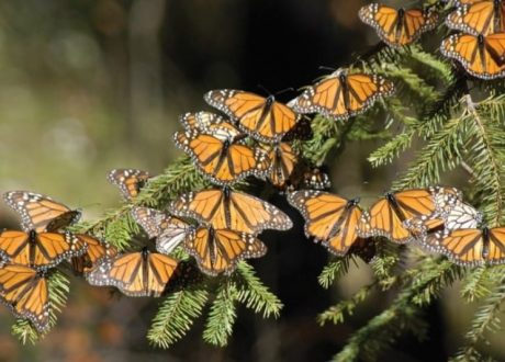 El Rosario Butterfly Sanctuary - Mike Bruscia