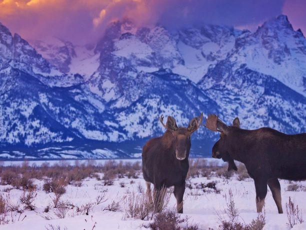 Elanden Grand Teton