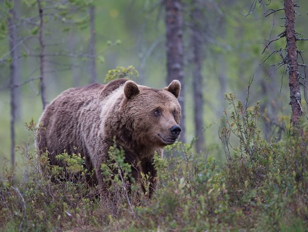 Fotoreis beren en wolven in Finse taiga
