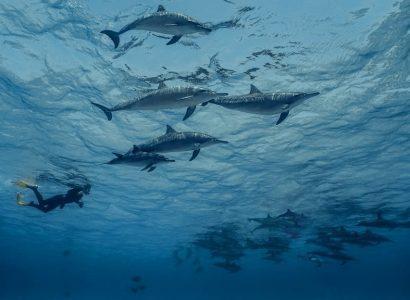 Freedive dolfijn