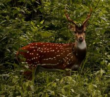 Gevlekt hert - Srikaanth Sekar (2)