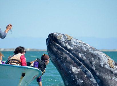 Grijze walvis spotten