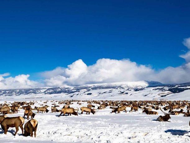 Grand Teton Elk Refuge