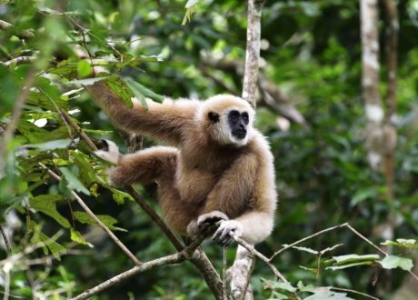 Hoollock Gibbon